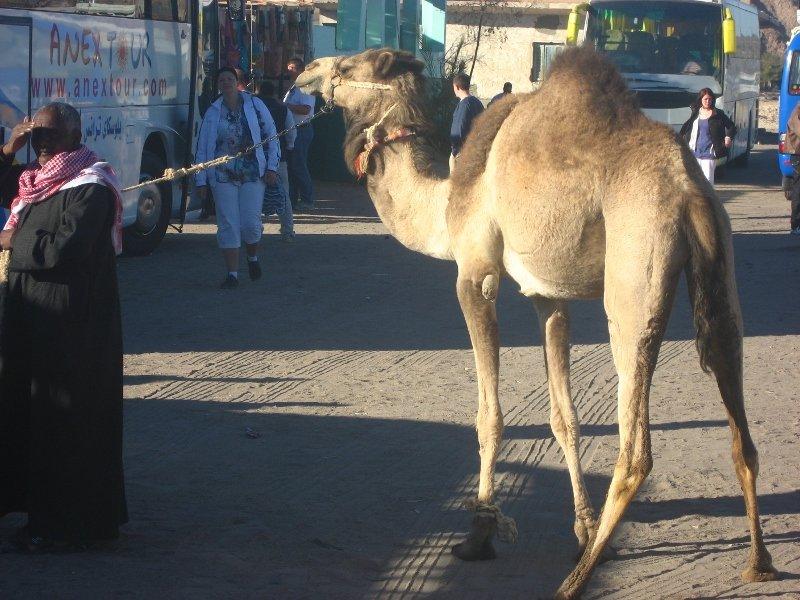 Аравийская пустыня, из Хургады в Луксор, верблюд