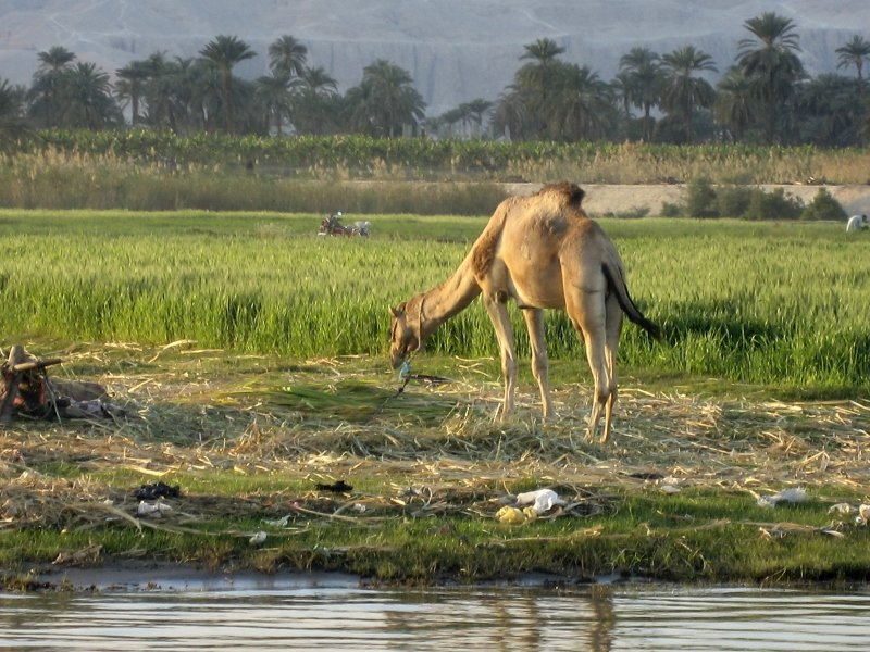 Нил, Луксор, верблюд