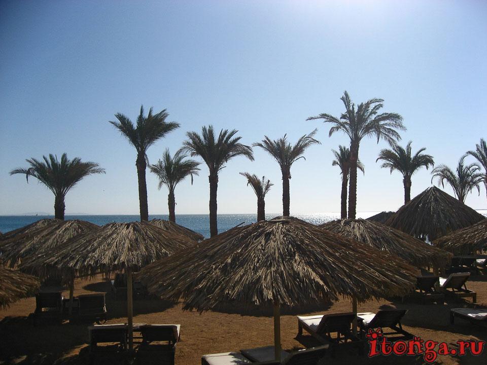 Финиковые пальмы Египта и фото других деревьев - Флора, Пальмы - hurgada, egypt