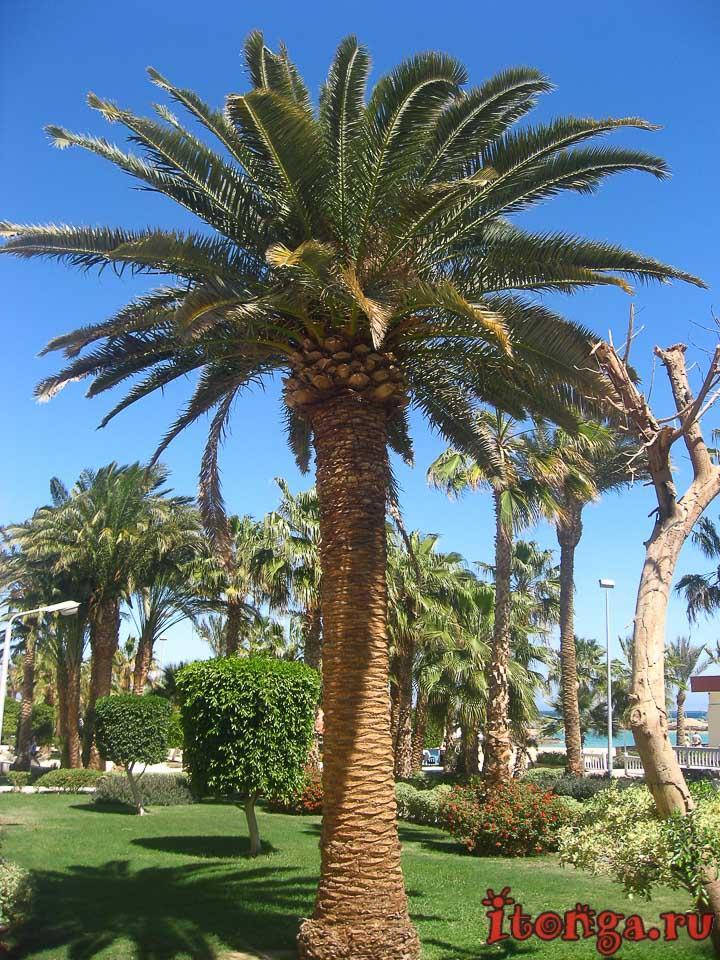 Финиковая пальма, пальмы Египта, пальма, фото, дерево,
