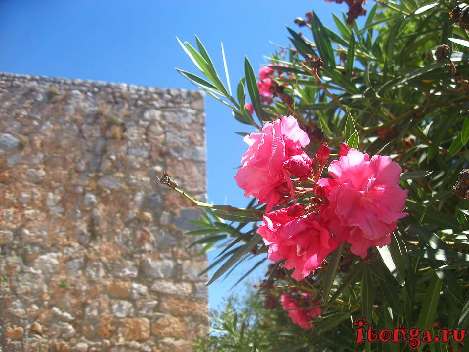 Турция, деревья, флора Турции, розовые цветы, растения, олеандр,