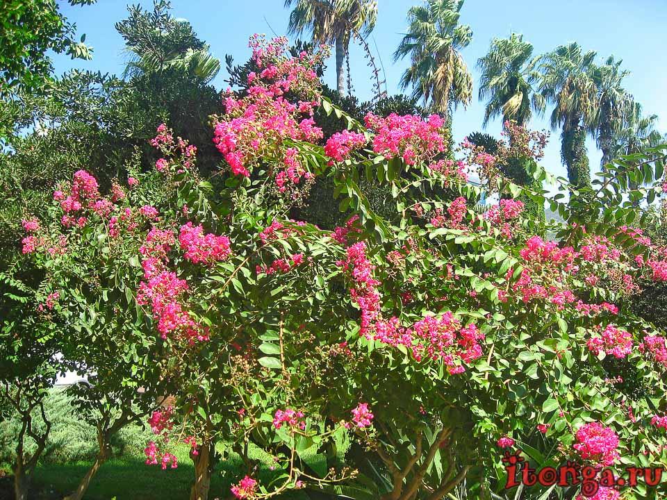 Турция, деревья, флора Турции, розовые цветы,