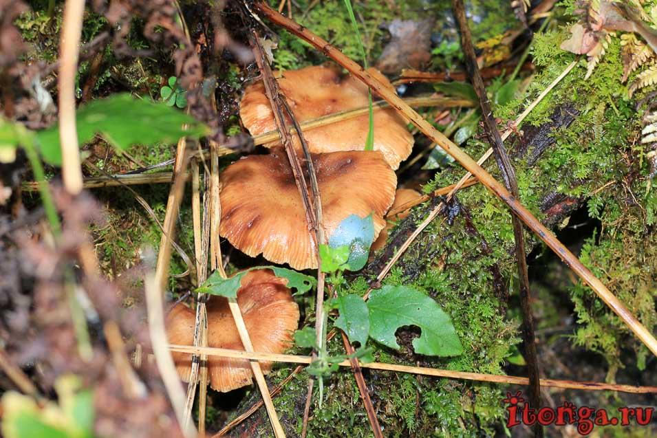 растения Алтая, флора, грибы,