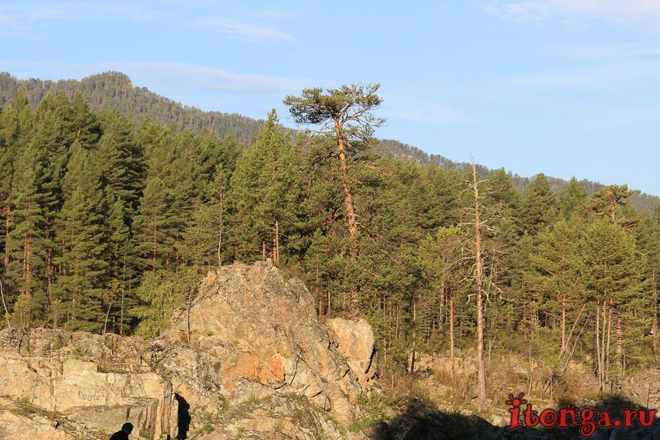 Растения Горного Алтая, флора, деревья,