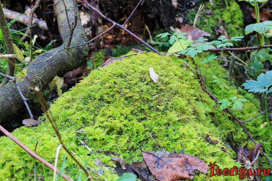 Алтайский мох, флора, растения,