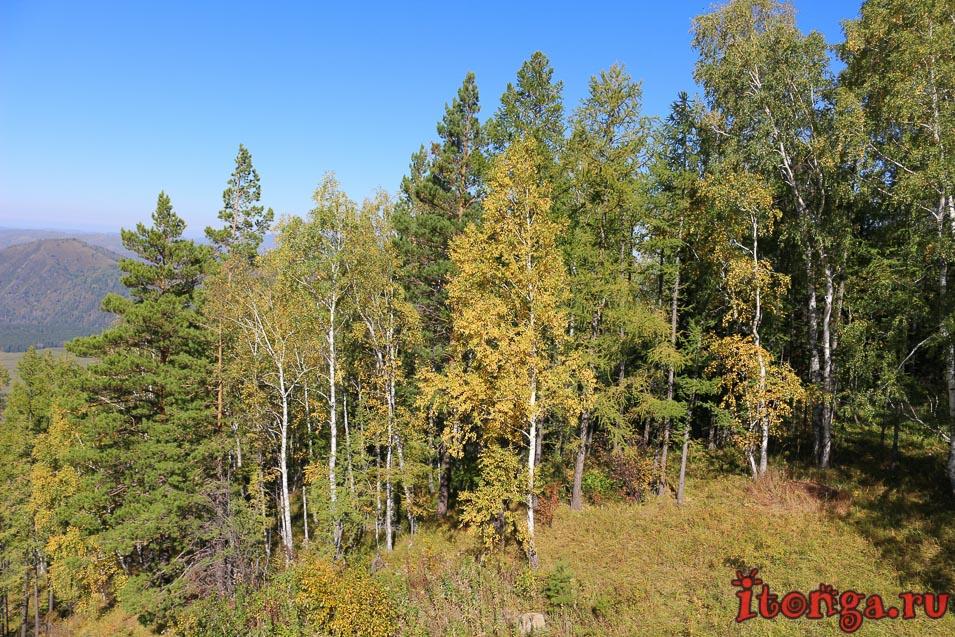 деревья Алтая, растения, флора,