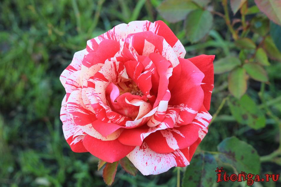 Цветы Алтая, флора, растения,