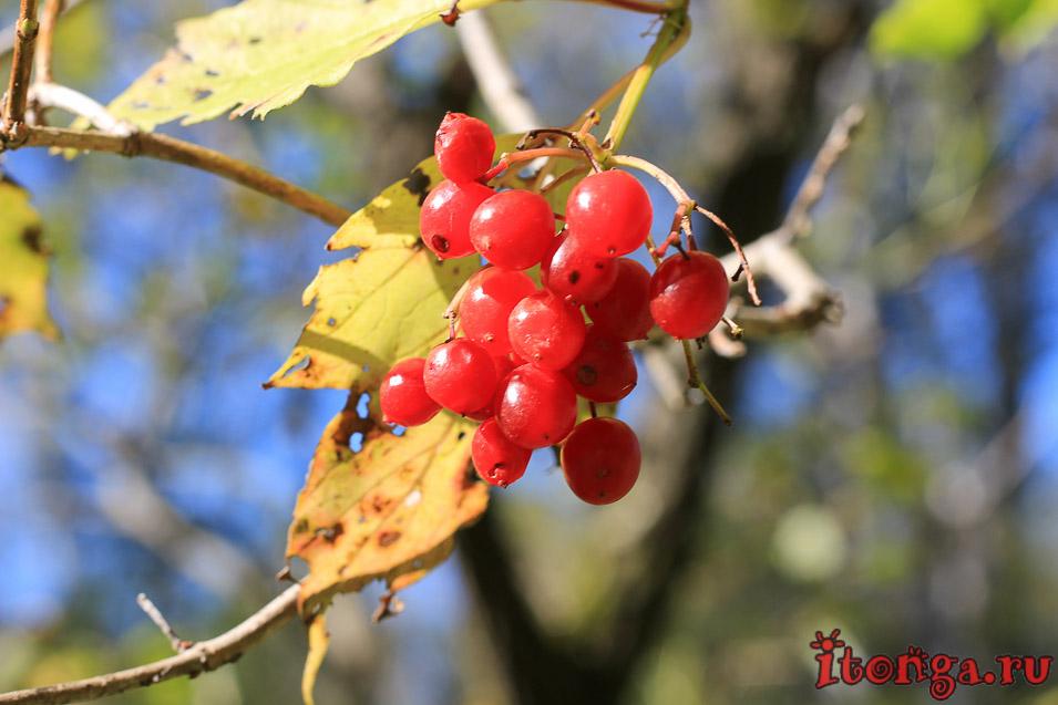 ягоды Алтая, флора, растения,