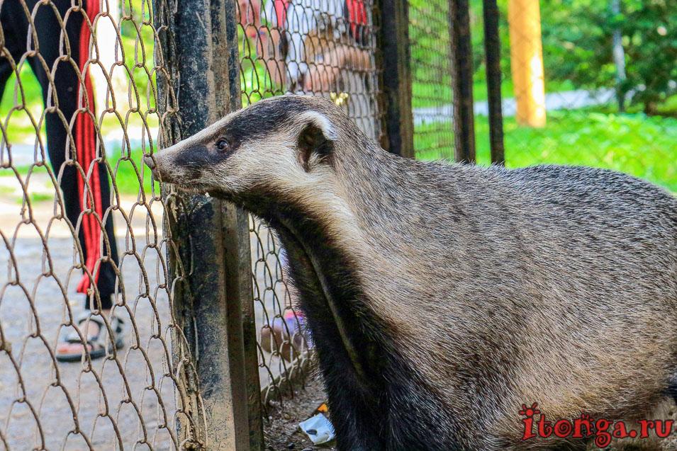 зоопарк томская писаница, животные, барсук