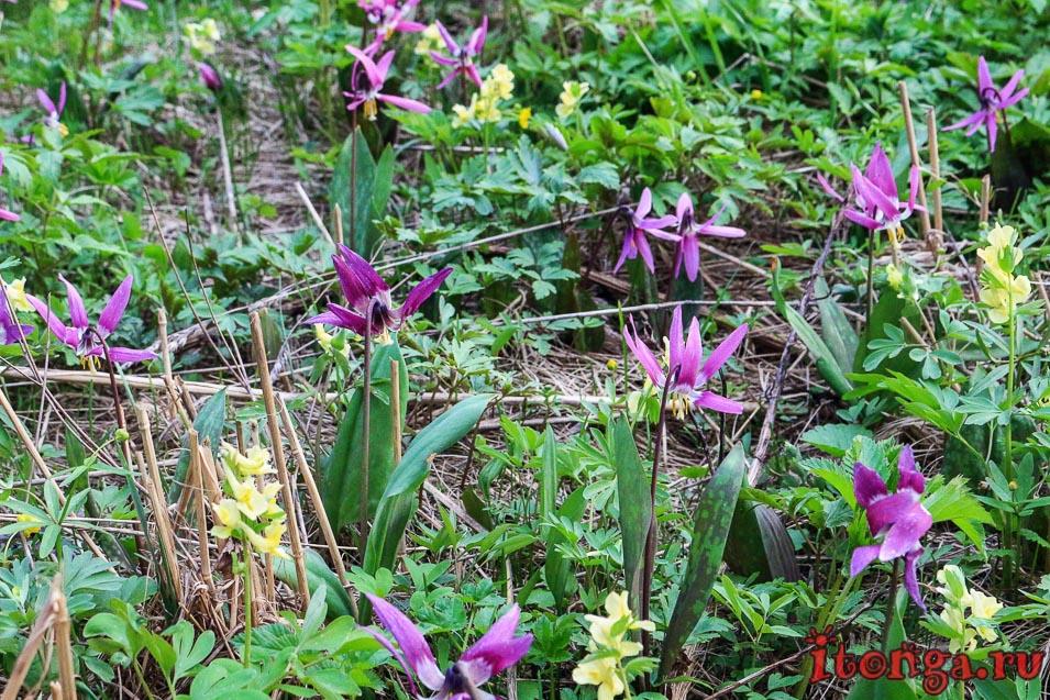 Кандыки, весенние цветы первоцветы
