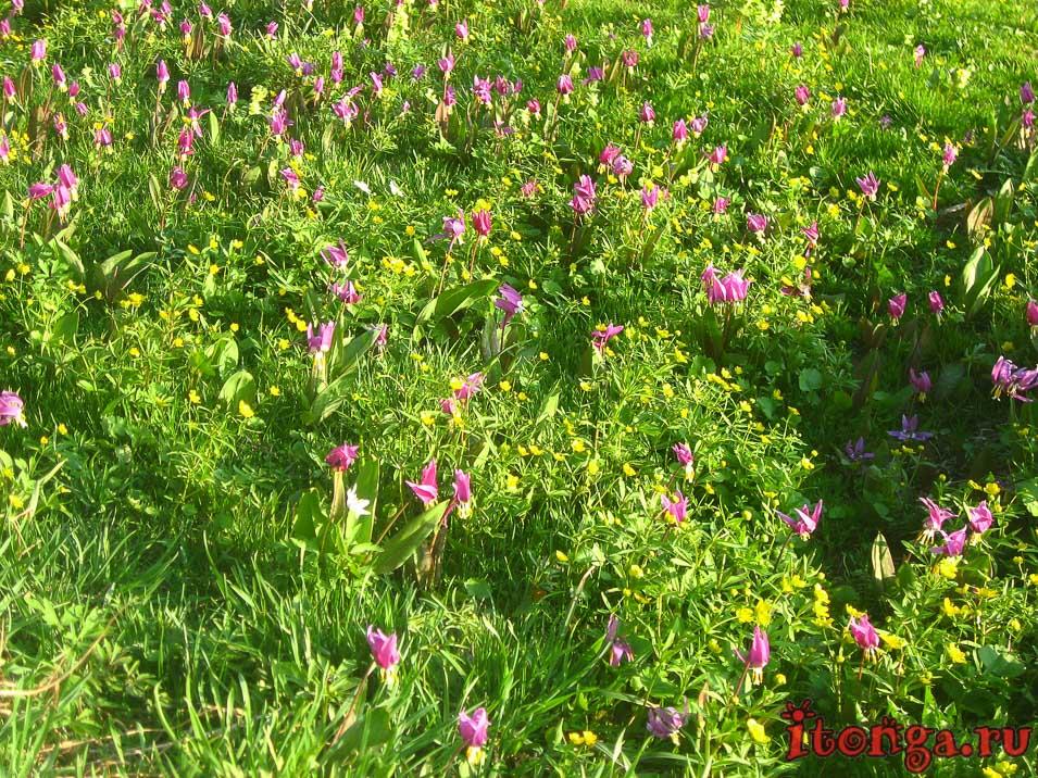 Кандыки, весенние цветы, первоцветы Кузбасса
