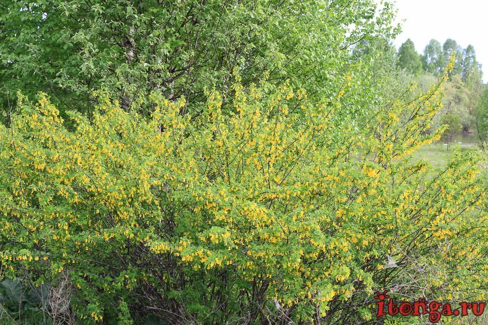 жёлтая акация, сибирская акация, карагана, весенние цветы, растения первоцветы, первоцветы Кузбасса