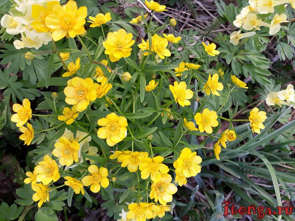 весенние желтые цветы, лапчатка, первоцветы Кузбасса