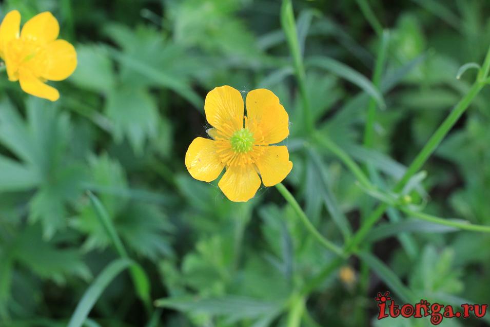 весенние жёлтые цветы, лютики, цветы Сибири