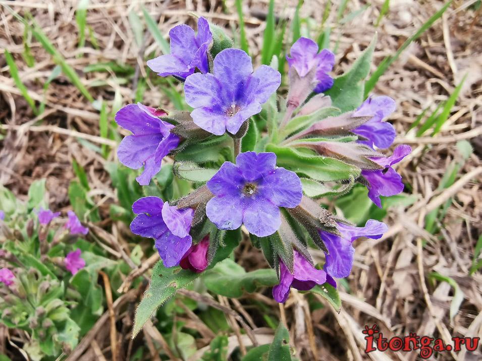 медуница, весенние цветы, первоцветы Кузбасса