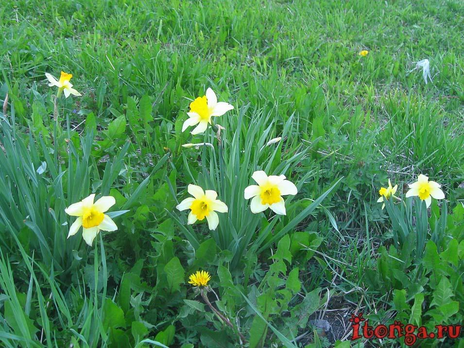 весенние цветы, цветы первоцветы