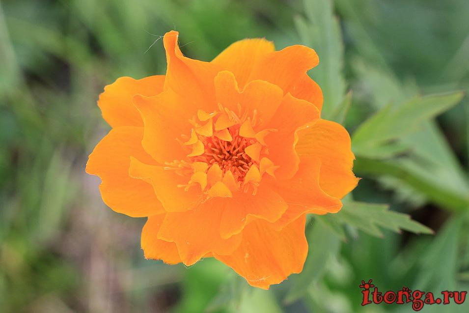 огоньки цветы Сибири, жарки, купальница, первоцветы Кузбасса, красивые весенние цветы