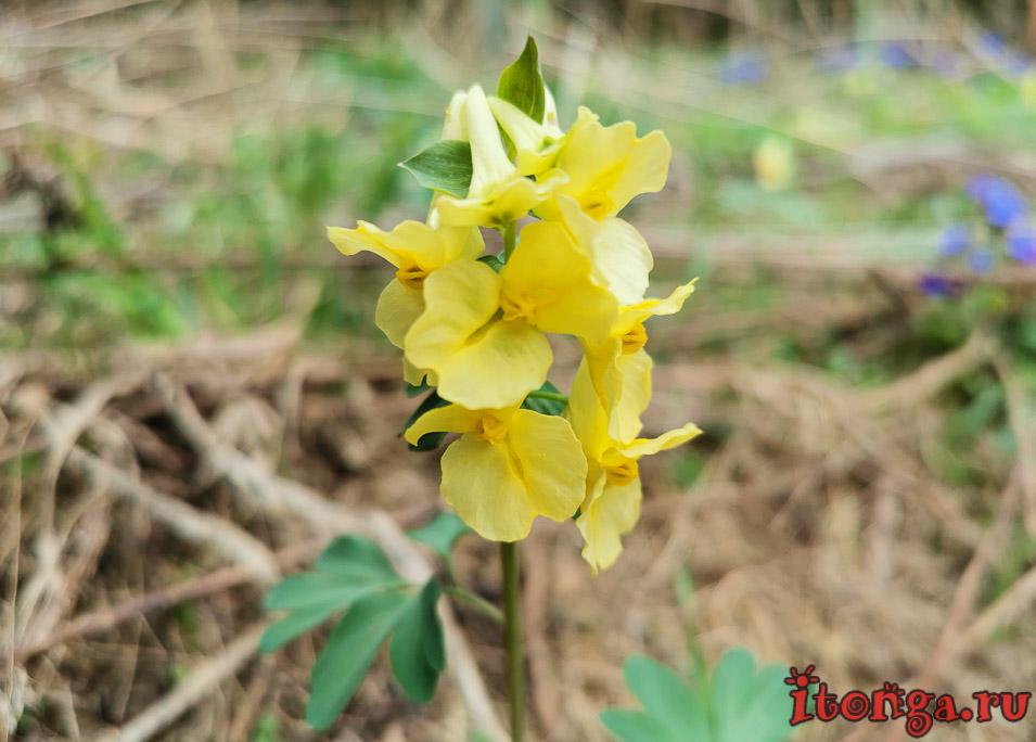 первоцвет хохлатка, весенние цветы, цветы Сибири