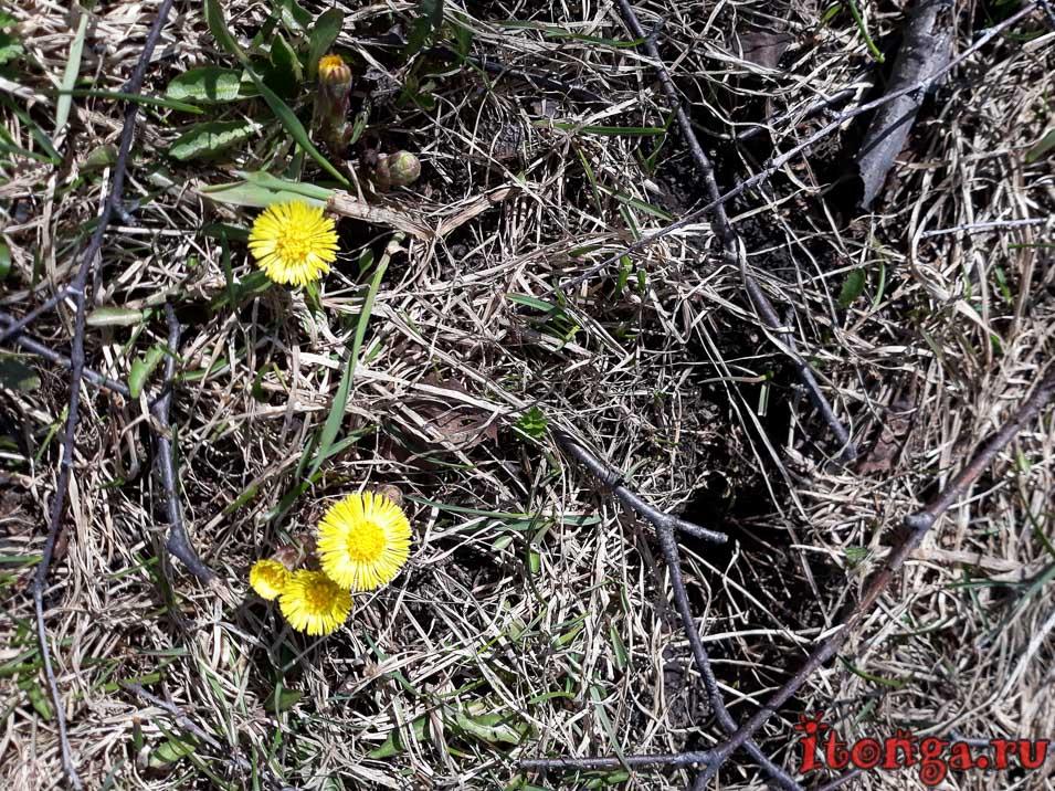 первоцветы Кузбасса, первоцвет весенний, мать-и-мачеха, цветы Сибири