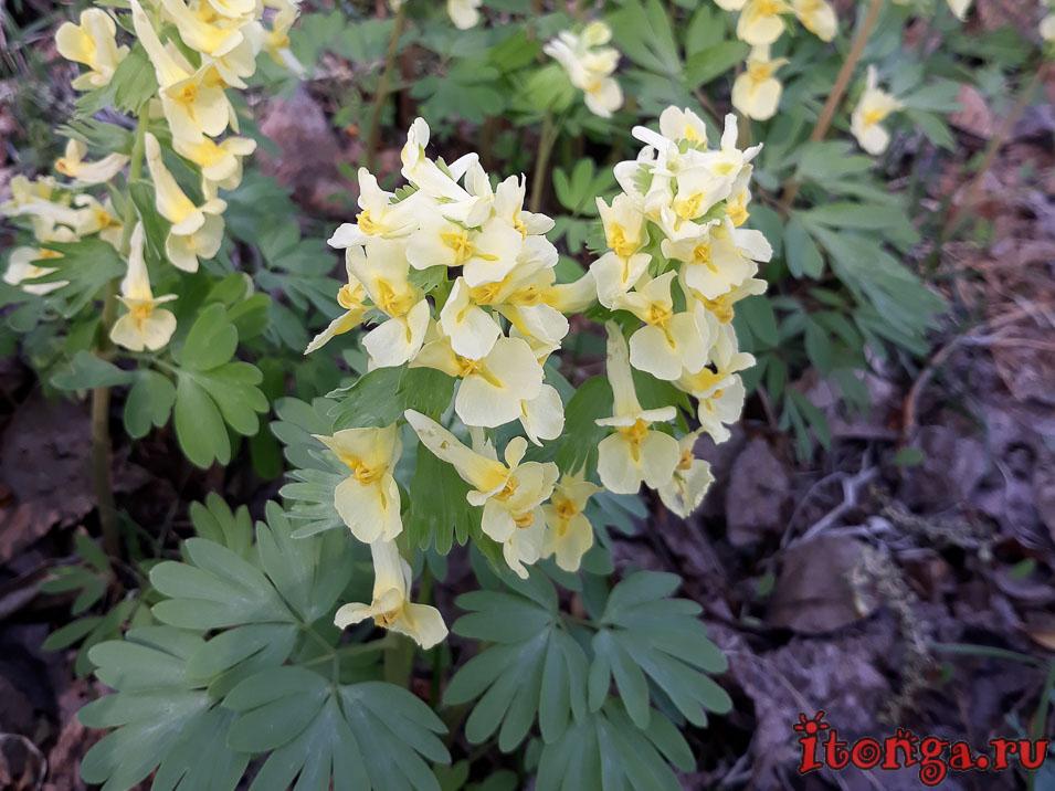 первоцвет хохлатка, весенние цветы, первоцветы Кузбасса