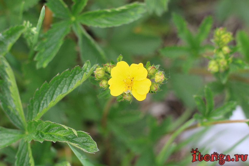 весенние желтые цветы, лапчатка, цветы Сибири