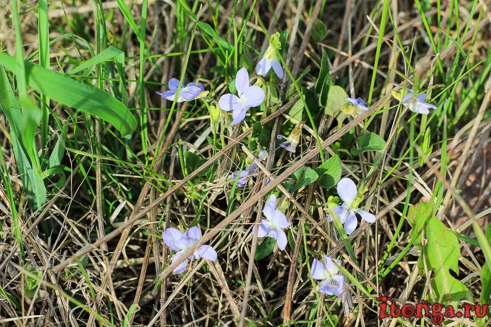фиалка, весенние цветы Сибири, весенние первоцветы Кузбасса