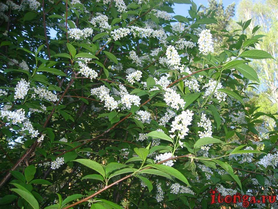 растения первоцветы, весенние цветы, черёмуха