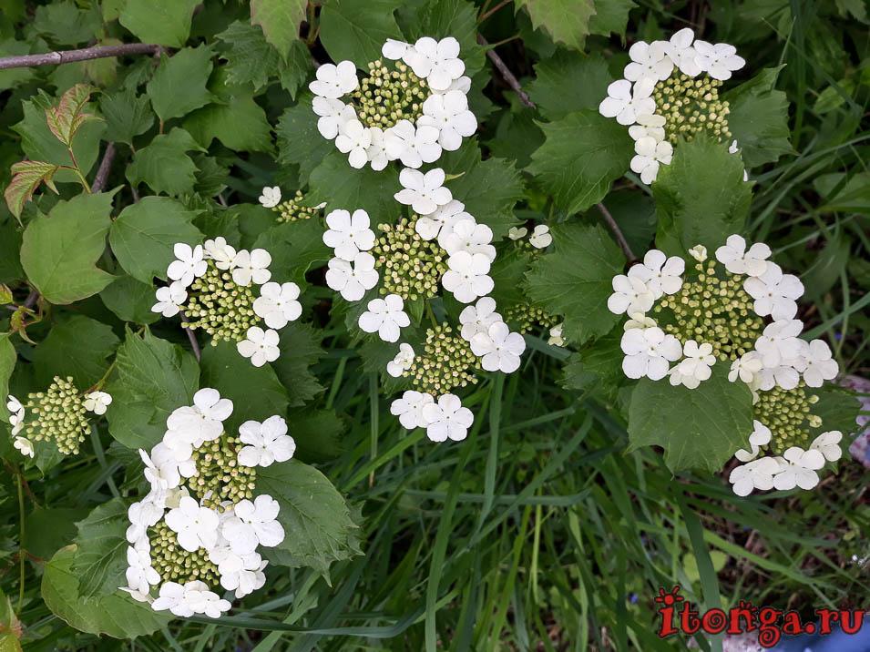 цветы Калины, Сибирь, Кузбасс