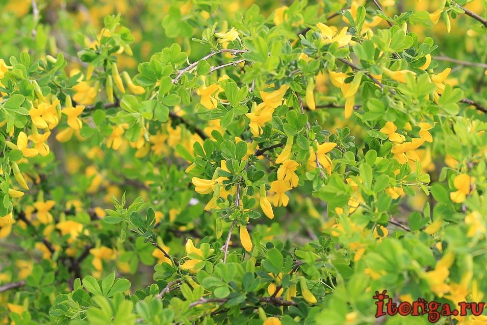 сибирская акация, карагана, весенние цветы, растения первоцветы, первоцветы Кузбасса