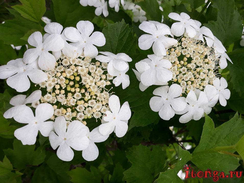 весенние цветы Сибири, Калина