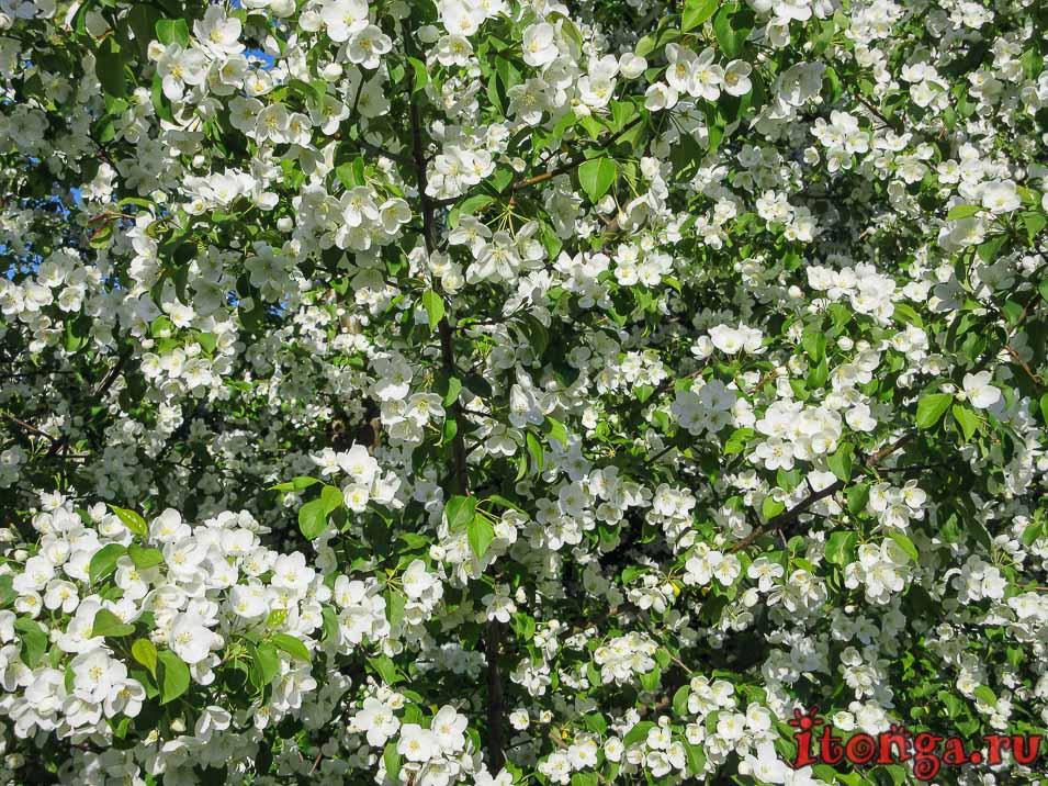 яблоня, цветы Сибири, весенние цветы