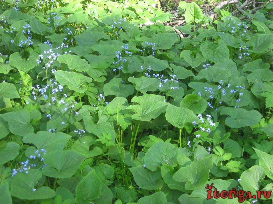 весенние цветы, цветы Сибири, бруннера Сибирская, первоцветы