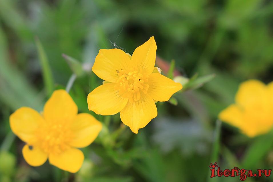 Калужница, весенние цветы Сибири, первоцветы Кузбасса
