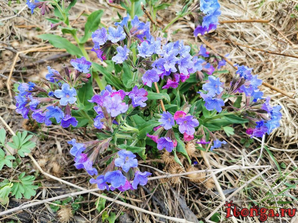 медуница, красивые весенние цветы, первоцветы Кузбасса