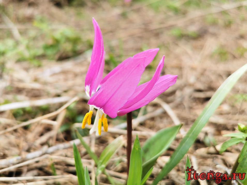 Кандыки, весенние цветы Сибири, первоцветы, красивые весенние цветы