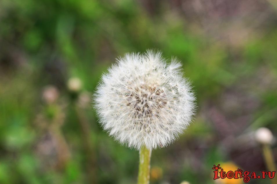 одуванчик, цветы Сибири, весенние цветы
