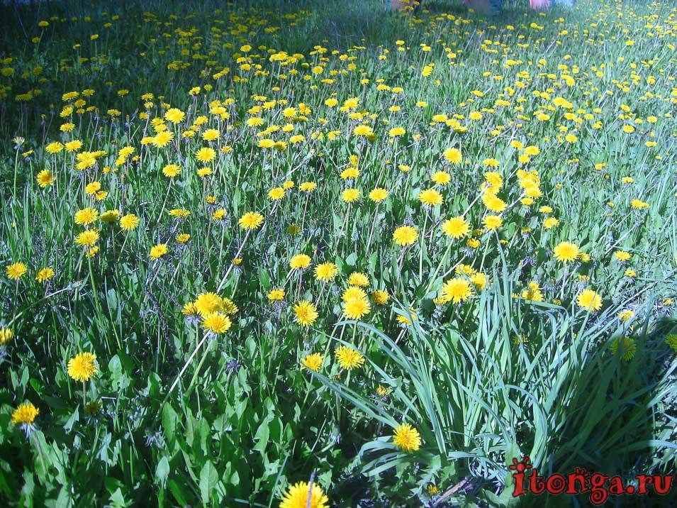 одуванчики, цветы Сибири, весенние цветы