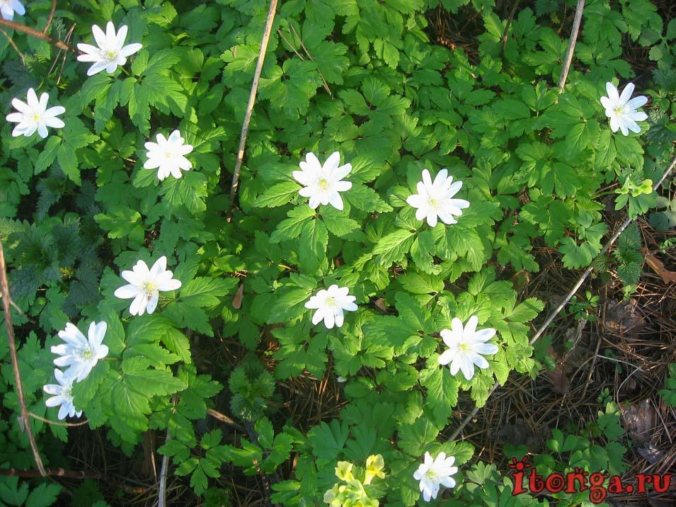 весенние цветы, цветы Сибири, первоцветы, ветреница, анемона