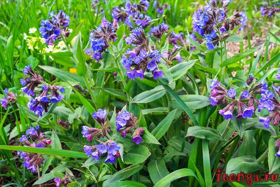 медуница, первоцвет весенний, цветы Сибири, красивые весенние цветы