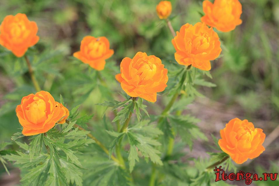 огоньки, жарки, весенние цветы, первоцветы Кузбасса, купальница