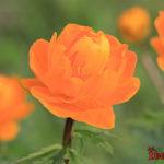 Весенние цветы Сибири - фото и названия первоцветов
