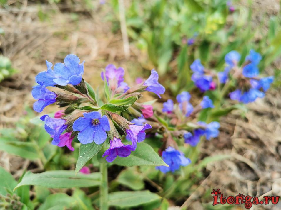 Весенние цветы, цветы Сибири, первоцветы Кузбасса