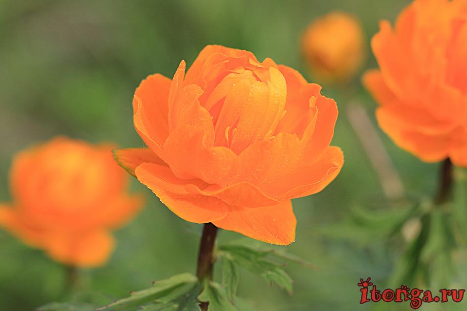 весенние цветы, первоцветы, цветы Сибири