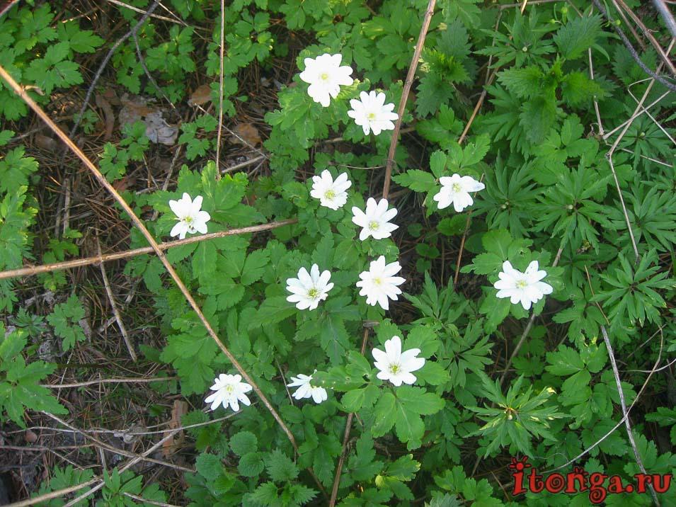 весенние цветы, цветы Сибири, первоцветы Кузбасса, ветреница, анемона
