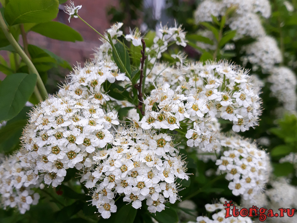 Спирея, весенние цветы, Сибирь, Кузбасс
