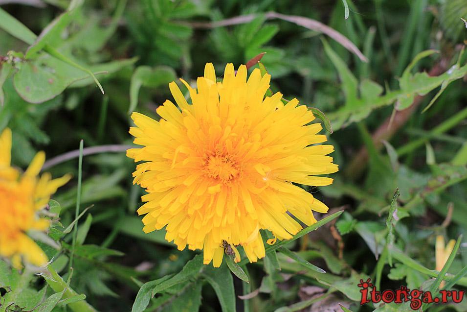 первоцветы Сибири, весенние цветы, одуванчик полевой