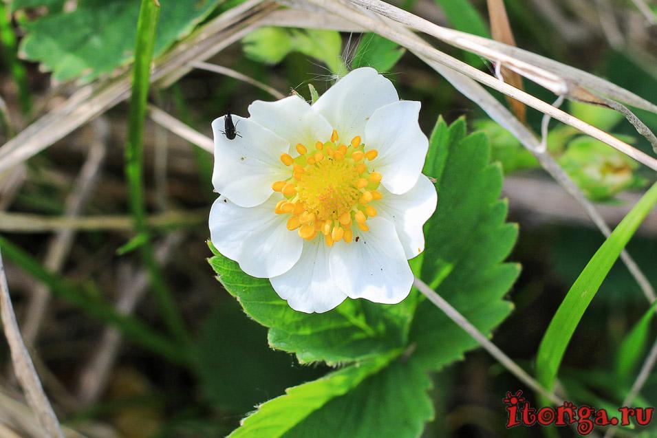 весенние цветы Сибири, земляника