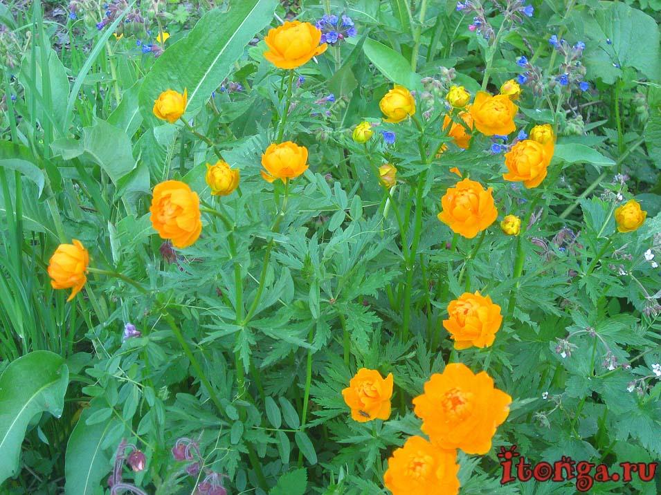огоньки, жарки, весенние цветы, первоцветы Кузбасса