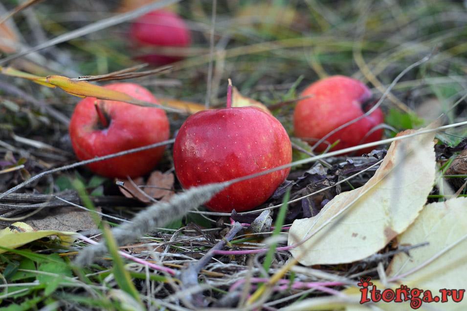 природа, яблоки, осень, фото