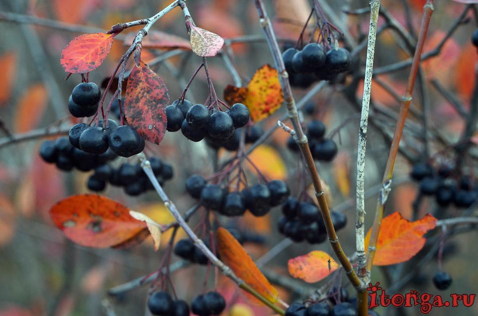 пейзажи сибири фото, осень, черная рябина